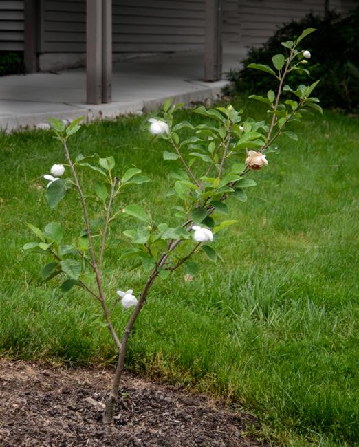 Magnolia Sieboldii Michiko Renge