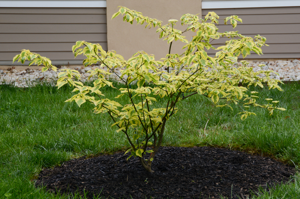cornus alternifolia  golden shadows u00ae   u0026 39 wstackman u0026 39